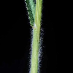 Stems and sheaths: Bromus hordeaceus. ~ By Joseph DiTomaso. ~ Copyright © 2021 CC BY-NC 3.0. ~  ~ Bugwood - www.bugwood.org/