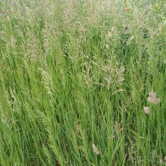Plant form: Bromus inermis. ~ By Robert Vid_ki. ~ Copyright © 2020 CC BY-NC 3.0. ~  ~ Bugwood - www.bugwood.org/