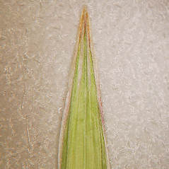 Leaves: Bromus inermis. ~ By Arthur Haines. ~ Copyright © 2020. ~ arthurhaines[at]wildblue.net