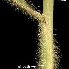 Stems and sheaths: Bromus japonicus. ~ By Anna Gardner. ~ Copyright © 2021. ~ dlewis[at]ias.edu ~ Ada Hayden Herbarium - Iowa State U.