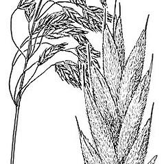 Inflorescences: Bromus kalmii. ~ By Elsie Froeschner. ~ Copyright © 2021 Ellen L. Froeschner. ~ Ellen L. Froeschner, 1939-A Frankin Blvd., Carmel Indiana 46032 ~ Ada Hayden Herbarium - Iowa State U.