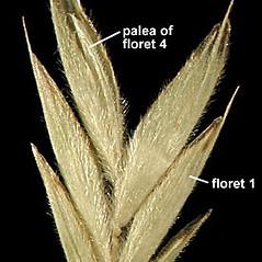 Spikelets: Bromus kalmii. ~ By Anna Gardner. ~ Copyright © 2021. ~ dlewis[at]ias.edu ~ Ada Hayden Herbarium - Iowa State U.