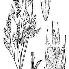 Inflorescences: Bromus latiglumis. ~ By Elsie Froeschner. ~ Copyright © 2020 Ellen L. Froeschner. ~ Ellen L. Froeschner, 1939-A Frankin Blvd., Carmel Indiana 46032 ~ Ada Hayden Herbarium - Iowa State U.