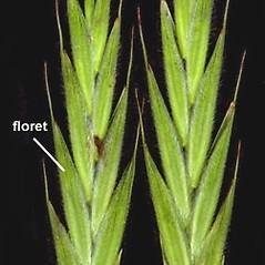 Spikelets: Bromus latiglumis. ~ By Anna Gardner. ~ Copyright © 2020. ~ dlewis[at]ias.edu ~ Ada Hayden Herbarium - Iowa State U.