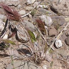 Plant form: Bromus rubens. ~ By Bonnie Million. ~ Copyright © 2020 CC BY-NC 3.0. ~  ~ Bugwood - www.bugwood.org/