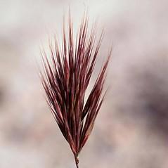 Inflorescences: Bromus rubens. ~ By John Randall. ~ Copyright © 2020 CC BY-NC 3.0. ~  ~ Bugwood - www.bugwood.org/