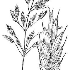 Inflorescences: Bromus secalinus. ~ By Elsie Froeschner. ~ Copyright © 2021 Ellen L. Froeschner. ~ Ellen L. Froeschner, 1939-A Frankin Blvd., Carmel Indiana 46032 ~ Ada Hayden Herbarium - Iowa State U.