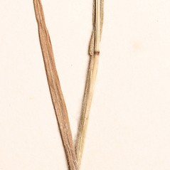 Stems and sheaths: Bromus squarrosus. ~ By New England Botanical Club. ~ Copyright © 2021 New England Botanical Club. ~ No permission needed for non-commercial uses, with proper credit