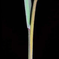 Stems and sheaths: Bromus sterilis. ~ By Joseph DiTomaso. ~ Copyright © 2021 CC BY-NC 3.0. ~  ~ Bugwood - www.bugwood.org/