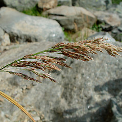 Inflorescences: Calamagrostis canadensis. ~ By Arthur Haines. ~ Copyright © 2020. ~ arthurhaines[at]wildblue.net