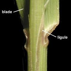Stems and sheaths: Calamagrostis canadensis. ~ By Anna Gardner. ~ Copyright © 2019. ~ dlewis[at]ias.edu ~ Ada Hayden Herbarium - Iowa State U.