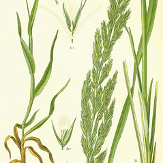 Leaves: Calamagrostis epigejos. ~ By Otto Wilhelm Thome. ~  Public Domain. ~  ~ commons.wikimedia.org/wiki/Image:Illustration_Lagurus_ovatus0.jpg