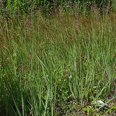 Plant form: Calamagrostis pickeringii. ~ By Glen Mittelhauser. ~ Copyright © 2019 Glen Mittelhauser. ~ www.mainenaturalhistory.org