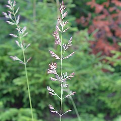 Inflorescences: Calamagrostis stricta. ~ By Arthur Haines. ~ Copyright © 2021. ~ arthurhaines[at]wildblue.net