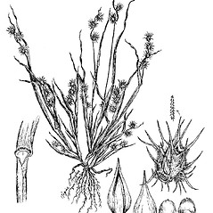Plant form: Cenchrus spinifex. ~ By Regina O. Hughes. ~  Public Domain. ~  ~ Reed, C.F. 1970. Selected weeds of the United States. USDA Agric. Res. Ser. Agric. Handbook 336