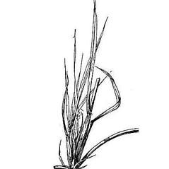 Leaves: Chloris gayana. ~ By USDA-NRCS PLANTS Database. ~  Public Domain. ~ None needed ~ USDA-NRCS Plants Database - plants.usda.gov/java/