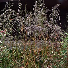 Plant form: Cinna arundinacea. ~ By Paul S. Drobot. ~ Copyright © 2021 Paul S. Drobot. ~ www.plantstogrow.com, www.plantstockphotos.com ~ Robert W. Freckmann Herbarium, U. of Wisconsin-Stevens Point