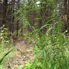 Plant form: Cinna latifolia. ~ By Marilee Lovit. ~ Copyright © 2021 Marilee Lovit. ~ lovitm[at]gmail.com