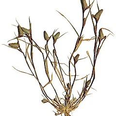 Plant form: Crypsis schoenoides. ~ By Anna Gardner. ~ Copyright © 2020. ~ dlewis[at]ias.edu ~ Ada Hayden Herbarium - Iowa State U.