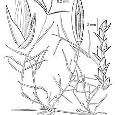Plant form: Cynodon dactylon. ~ By Elsie Froeschner. ~ Copyright © 2021 Ellen L. Froeschner. ~ Ellen L. Froeschner, 1939-A Frankin Blvd., Carmel Indiana 46032 ~ Ada Hayden Herbarium - Iowa State U.