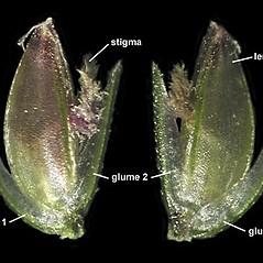 Spikelets: Cynodon dactylon. ~ By Anna Gardner. ~ Copyright © 2020. ~ dlewis[at]ias.edu ~ Ada Hayden Herbarium - Iowa State U.