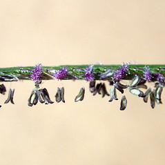 Spikelets: Cynodon dactylon. ~ By Keir Morse. ~ Copyright © 2021 Keir Morse. ~ www.keiriosity.com ~ www.keiriosity.com