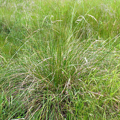 Plant form: Deschampsia cespitosa. ~ By Paul Busselen . ~ Copyright © 2019 Paul Busselen . ~ No permission necessary; any use permitted ~ Plant Guide, Biology Department, Katholieke Universiteit Leuven, Campus Kortrijk
