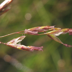 Spikelets: Deschampsia cespitosa. ~ By Marilee Lovit. ~ Copyright © 2019 Marilee Lovit. ~ lovitm[at]gmail.com