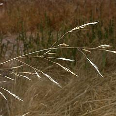 Inflorescences: Deschampsia danthonioides. ~ By Keir Morse. ~ Copyright © 2021 Keir Morse. ~ www.keiriosity.com ~ www.keiriosity.com