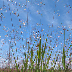 Plant form: Deschampsia flexuosa. ~ By Marilee Lovit. ~ Copyright © 2021 Marilee Lovit. ~ lovitm[at]gmail.com