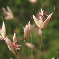 Spikelets: Deschampsia flexuosa. ~ By Marilee Lovit. ~ Copyright © 2021 Marilee Lovit. ~ lovitm[at]gmail.com