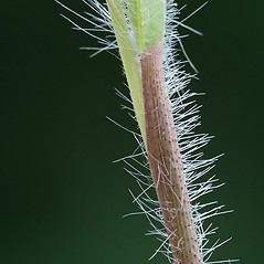 Stems and sheaths: Dichanthelium acuminatum. ~ By Arieh Tal. ~ Copyright © 2021 Arieh Tal. ~ http://botphoto.com/ ~ Arieh Tal - botphoto.com