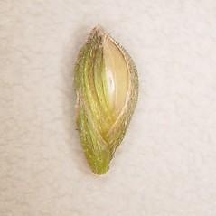 Spikelets: Dichanthelium boscii. ~ By Arthur Haines. ~ Copyright © 2020. ~ arthurhaines[at]wildblue.net