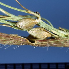 Spikelets: Dichanthelium clandestinum. ~ By Ken Chamberlain. ~ Copyright © 2021 CC BY-NC 3.0. ~  ~ Bugwood - www.bugwood.org/