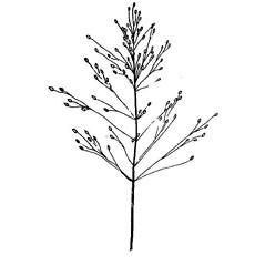 Inflorescences: Dichanthelium commutatum. ~ By West Virgina University Press. ~ Copyright © 2021 West Virgina University Press. ~ Carrie Mullen, carrie.mullen[at]mail.wva.edu ~ P.D. Strasbaugh and Earl L. Core, Flora of West Virginia. 1970. West Virginia U. Press, Morgantown, WV