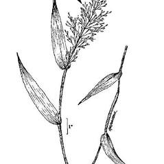 Inflorescences: Dichanthelium commutatum. ~ By USDA-NRCS PLANTS Database. ~  Public Domain. ~ None needed ~ USDA-NRCS Plants Database - plants.usda.gov/java/