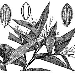 Leaves: Dichanthelium commutatum. ~ By USDA-NRCS PLANTS Database. ~  Public Domain. ~ None needed ~ USDA-NRCS Plants Database - plants.usda.gov/java/