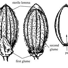 Spikelets: Dichanthelium commutatum. ~ By USDA-NRCS PLANTS Database. ~  Public Domain. ~ None needed ~ USDA-NRCS Plants Database - plants.usda.gov/java/