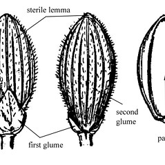 Spikelets: Dichanthelium dichotomum. ~ By USDA-NRCS PLANTS Database. ~  Public Domain. ~ None needed ~ USDA-NRCS Plants Database - plants.usda.gov/java/