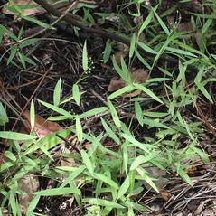 Plant form: Dichanthelium ovale. ~ By John Bradford and George Rogers. ~ Copyright © 2020 John Bradford and George Rogers. ~ George Rogers: rogersg[at]palmbeachstate.edu, 561-207-5052  ~ floridagrasses.org/index.htm
