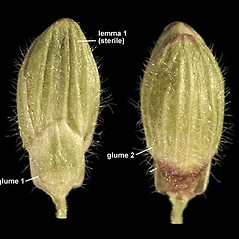 Spikelets: Dichanthelium ovale. ~ By Anna Gardner. ~ Copyright © 2020. ~ dlewis[at]ias.edu ~ Ada Hayden Herbarium - Iowa State U.
