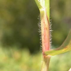 Stems and sheaths: Dichanthelium scabriusculum. ~ By Lytton John Musselman. ~ Copyright © 2020 lmusselm[at]odu.edu; http://www.odu.edu/~lmusselm/. ~ lmusselm[at]odu.edu ~ www.odu.edu/~lmusselm/plant/