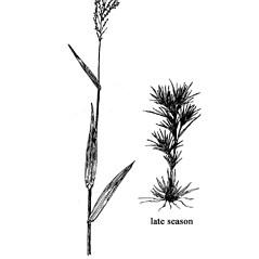 Plant form: Dichanthelium sphaerocarpon. ~ By West Virgina University Press. ~ Copyright © 2019 West Virgina University Press. ~ Carrie Mullen, carrie.mullen[at]mail.wva.edu ~ P.D. Strasbaugh and Earl L. Core, Flora of West Virginia. 1970. West Virginia U. Press, Morgantown, WV