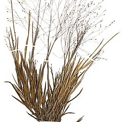 Plant form: Digitaria cognata. ~ By Anna Gardner. ~ Copyright © 2020. ~ dlewis[at]ias.edu ~ Ada Hayden Herbarium - Iowa State U.