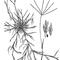 Plant form: Digitaria sanguinalis. ~ By Regina O. Hughes. ~  Public Domain. ~  ~ Reed, C.F. 1970. Selected weeds of the United States. USDA Agric. Res. Ser. Agric. Handbook 336