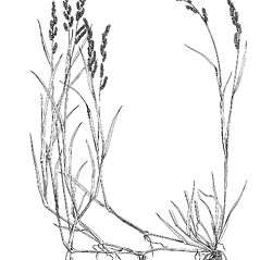Plant form: Echinochloa colona. ~ By Mary Barnes Pomeroy. ~ Copyright © 2021 Estate of Herbert Mason. ~ Any use permitted ~ Mason, HL. 1957. A flora of the Marshes of California. U. of California Press, Berkeley and Los Angeles, Library of Congress number 57-7960