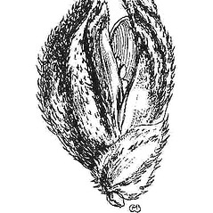 Spikelets: Echinochloa colona. ~ By Mary Barnes Pomeroy. ~ Copyright © 2021 Estate of Herbert Mason. ~ Any use permitted ~ Mason, HL. 1957. A flora of the Marshes of California. U. of California Press, Berkeley and Los Angeles, Library of Congress number 57-7960