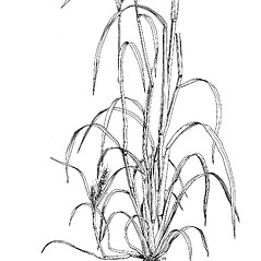 Plant form: Echinochloa crus-galli. ~ By Mary Barnes Pomeroy. ~ Copyright © 2020 Estate of Herbert Mason. ~ Any use permitted ~ Mason, HL. 1957. A flora of the Marshes of California. U. of California Press, Berkeley and Los Angeles, Library of Congress number 57-7960