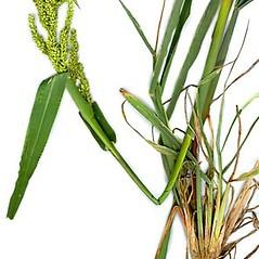 Plant form: Echinochloa muricata. ~ By Anna Gardner. ~ Copyright © 2021. ~ dlewis[at]ias.edu ~ Ada Hayden Herbarium - Iowa State U.