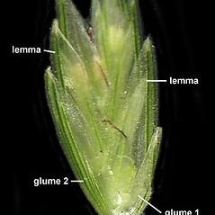 Spikelets: Eleusine indica. ~ By Anna Gardner. ~ Copyright © 2021. ~ dlewis[at]ias.edu ~ Ada Hayden Herbarium - Iowa State U.